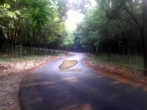 kebun karet Cikumpay